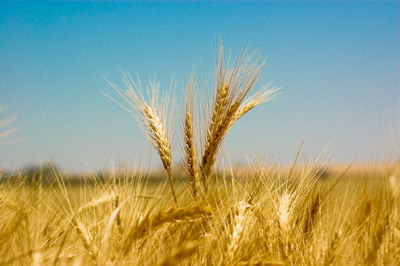 Standing_wheat_by_likhalid.jpg